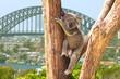 Cute Koala in Sydney, Australia - 67579161