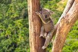 Fototapety Cute Koala in the forest, Australia