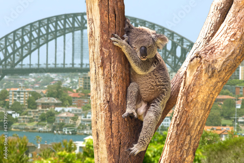 Foto op Canvas Koala Cute Koala in Sydney, Australia