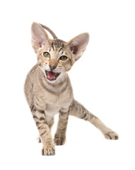 Funny angry oriental shorthair kitten. Go in attack. Isolated on