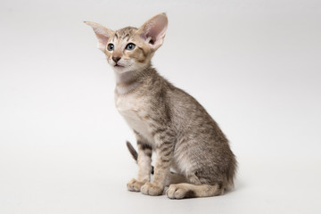 Sweet chocolate red tabby oriental kitten