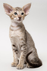 Sweet chocolate red tabby oriental kitten on