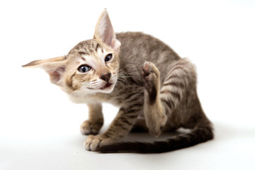 Funny scratching red oriental two-month kitten on light paper ba