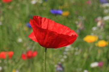 close up of red poppy on meadow
