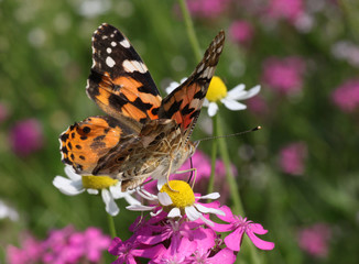 close up of Painted Lady butterfly on wild flower
