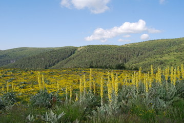 Yellow meadow in The Osogovo Mount