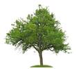 Alter Birnbaum mit vielen Misteln vor weißem Hintergrund