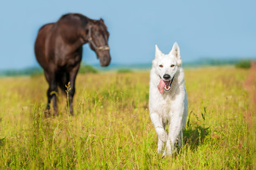 White swiss shepherd running on the pasture with horse