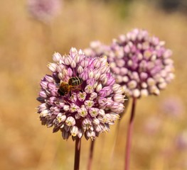 Bee on allium flowers