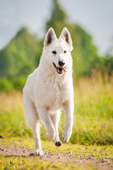 White swiss shepherd running