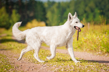 White swiss shepherd running with a stick