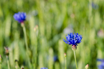 dew water drops on cornflower bluet flower bloom