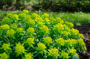 green ornamental foliage garden shrub