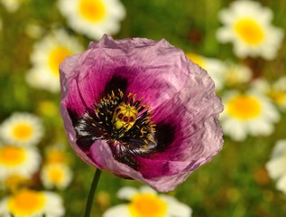 Closeup of pink poppy among daisies