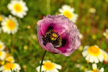 Pink poppy among wild flowers
