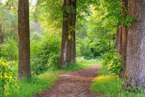 szeroki-szlak-wysokich-drzew-latem