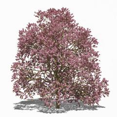 Purpurblättriger Trompetenbaum (Catalpa x erubescens) summer