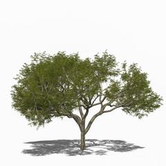 Rain Tree , Regenbaum (Samanea saman) summer