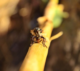 Robber fly with a small bee under its claws
