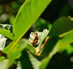 Grasshopper between green leaves