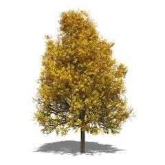 Silber-Linde (Tilia tomentosa) autumn