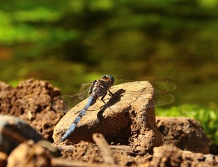 Splendid blue dragonfly on a stone