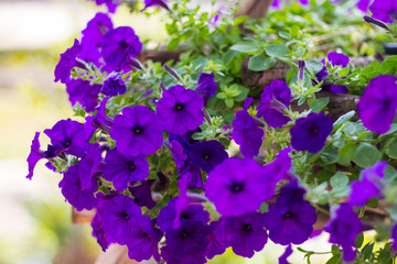 Purple Petunias flower