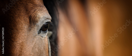 Eye of Arabian bay horse - 67589520