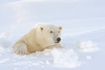 Polar Bear mother looking out freshly opened den
