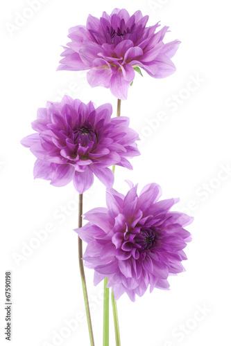 Foto op Canvas Dahlia dahlia