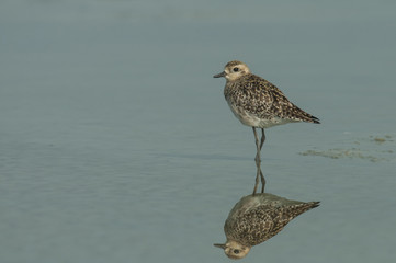 Pacific Golden Plover is stand alone in the morning