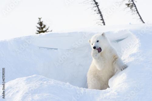 Fototapeten Eisbar Polar bear (Ursus maritimus) cub playing around den.