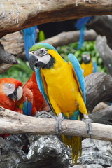 Macaw on the log