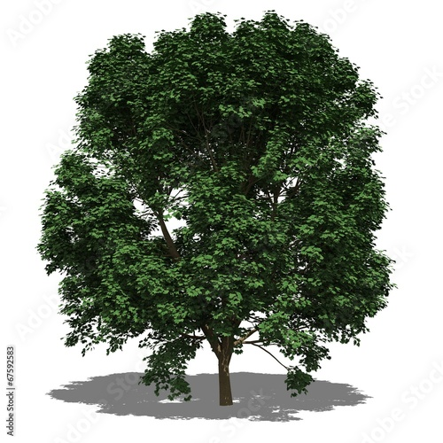 Berg-Ahorn (Acer pseudoplatanus) summer