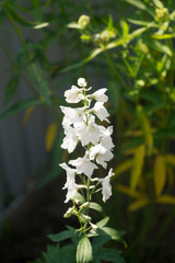 white delphinium blossomed in the garden