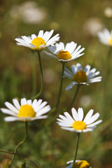 Close-up of Chamomile flower in the nature