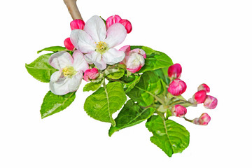Flower and  buds of apple  on a white background