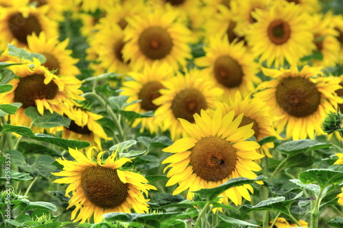 canvas print picture champs de tournesols