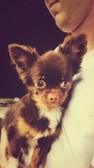 Kleiner chihuahua