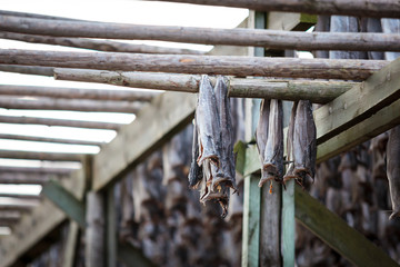 norther traditional stockfish outdoor drying on the sun