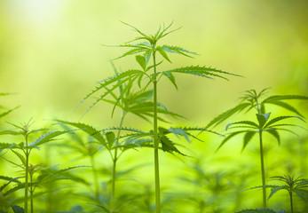 Marihuana plants, macro photo, low depth of focus
