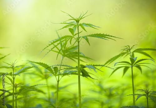 Marihuana plants, macro photo, low depth of focus - 67594790