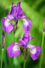two iris flowers