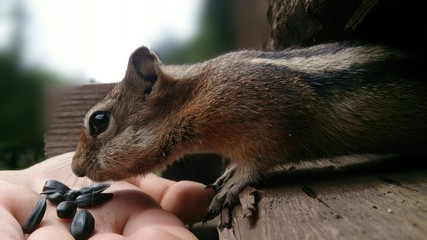 Feeding a chipmunk