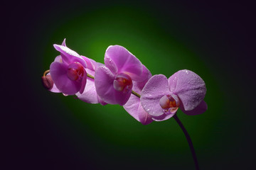Orchid branch with water drops on it