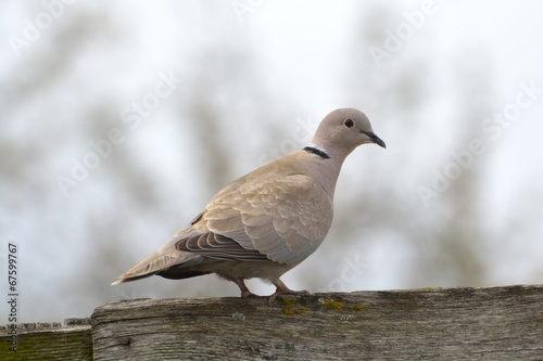 Foto op Canvas Natuur Eurasian Collared-Dove (Streptopelia decaocto)