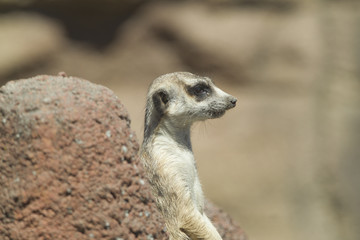 Side profile of meerkat.
