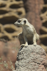 Watchful meerkat on rock.