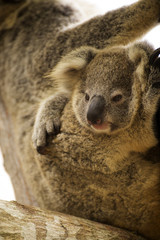Close up cute Koala