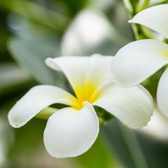 Frangipani Flower (plumeria)